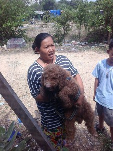 adopt poodle in Pattaya